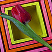 Red Tulip In Box Poster