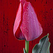 Red Tulip With Dew Poster