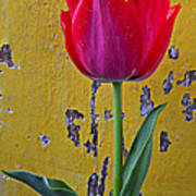 Red Tulip With Yellow Wall Poster