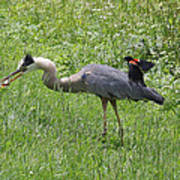 Red-winged Blackbird Attacking Great Blue Heron Poster