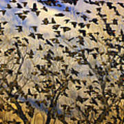 Red-winged Blackbirds At Sunset Poster
