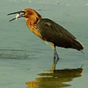Reddish Egret Caught A Fish Poster