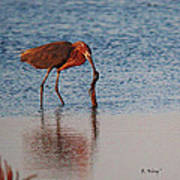 Reddish Egret Checking It Out Poster