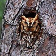 Reddish Screech Owl Poster