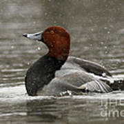 Redhead Duck Flapping Its Wings Poster