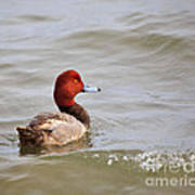 Redhead Duck Poster