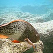Redlip Parrotfish Poster