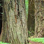 Redwood Trees Art Prints Big California Redwoods Poster