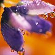 Reflection Of Flower In Dew Drops Poster