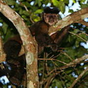 Relaxed - Brown Capuchin Poster