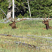 Relaxed Elk Poster