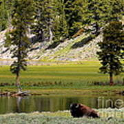 Resting Buffalo By Pond Poster