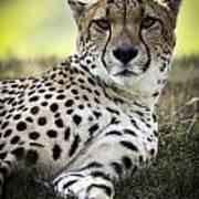 Resting Cheetah Poster