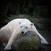 Resting Polar Poster