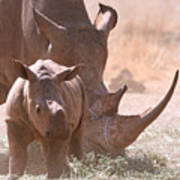 Rhinoceros With Calf Poster
