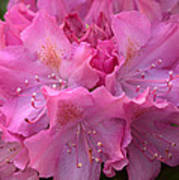 Rhododendron Bloom Poster