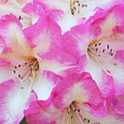 Rhododendron- Hot Pink Poster