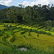 Rice Fields In Agricultural Bali Poster