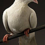 Ring-necked Dove Poster