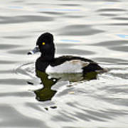 Ring Necked Duck  Poster