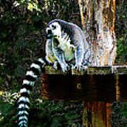Ring-tailed Lemur Poster