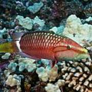 Ringtail Wrasse Poster