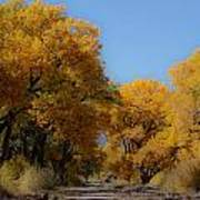 Rio Grande Cottonwoods Poster by Denice Breaux
