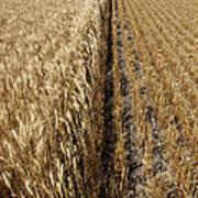 Ripened Wheat And Stubble In Saskatchewan Field Poster