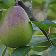 Ripening Pear In Tree Poster