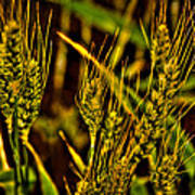 Ripening Wheat Poster