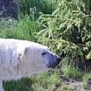 Roaming Polar Bear Poster