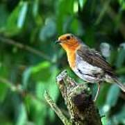 Robin 1 Poster