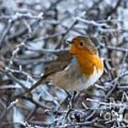 Robin On A Frosty Morning Poster