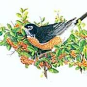 Robin on Pyracantha Poster