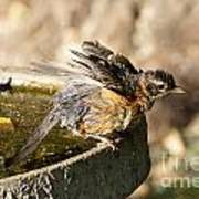 Robin Shaking Water Off Poster