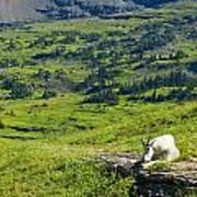 Rocky Mountain Goat Glacier National Park Poster