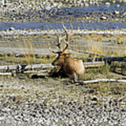 Rocky Mountains Elk Poster