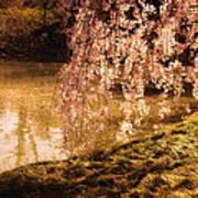 Romance - Sunlight Through Cherry Blossoms Poster
