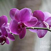 Romantic Purple Orchids Poster