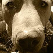 Roscoe Pitbull Eyes Poster