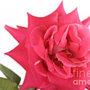 Rose Blooming Poster