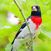 Rose-breasted Grosbeak Poster