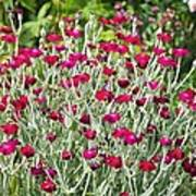 Rose Campion (lychnis Coronaria) Poster