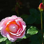 Rose In Chicago Botanic Garden Poster