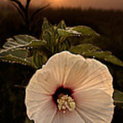 Rose Mallow Poster