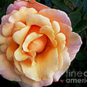 Rose Of Many Pastels Poster