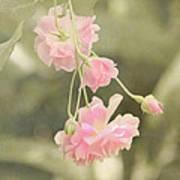 Rose Vine Poster