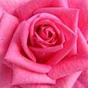 Rose With Droplets In Large-size Poster