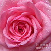Rose With Water Droplets Poster