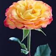 Rose3 Poster